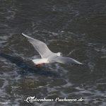 Cuxhaven Möwe Welle Sturm